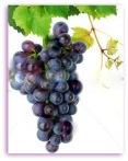 Grapevine grapes